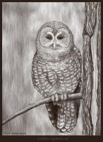 Northern Spotted Owl by astercrow