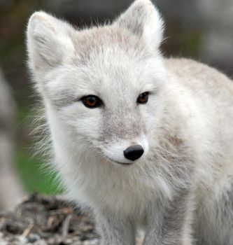 Arctic fox stock 2 by GrayeyesStock