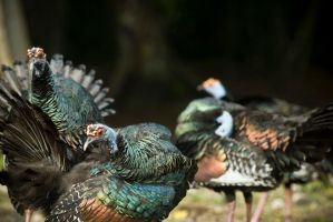 Ocellated Turkey by SantiBilly