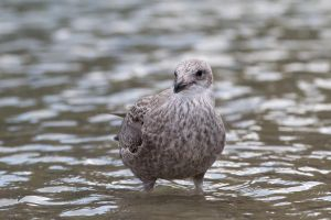 Seagull 04 Stock by lokinststock