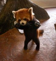 baby red panda by ameoto