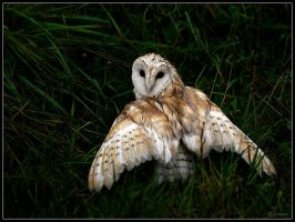 Barn Owl by cycoze