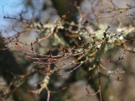 Winter Maple Branch by botanystock