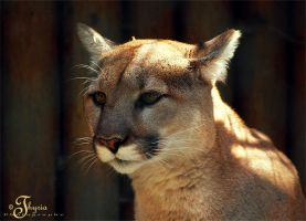 Puma by PhotosThyria