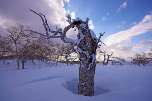 Curly birch by Astarcis