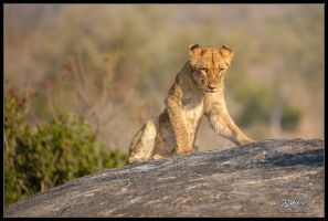 Teenager Lion Cub by mitchellkrog
