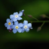 forget me not by christinegeier
