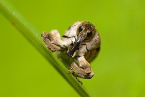 Weevil closeup by melvynyeo