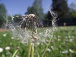pieces of dandelion by GreenSlOw