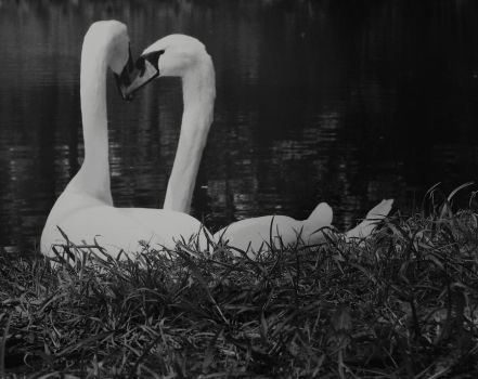 white swans by meismember