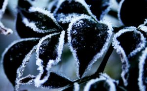 Frozen Leaves by What-We-Reflect