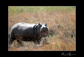 .Hippo. by duros