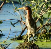 August Green Heron 2016 2 by natureguy