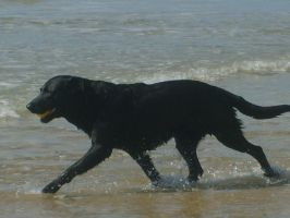 Labrador at the beach by tollywoga