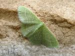 Wavy-lined Emerald Moth by koshplappit