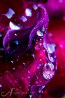 Rose Drops by alkimh