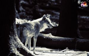 Free Wolves 6 by pixbird