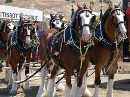 Budweiser Clydesdales in Monterey CA by Partywave