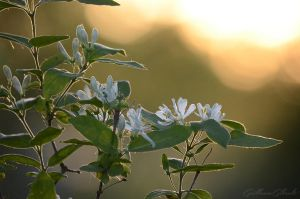 Tree's white flowers by GuillaumGibault