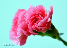 Pink Carnation by Mark-Allison