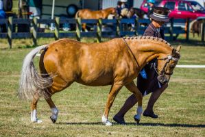 Palomino Horse Trot by DWDStock