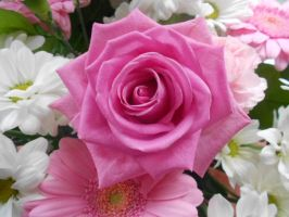 Pink Rose by Chez77