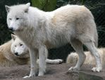 Wild animal 277 - white wolves by Momotte2stocks