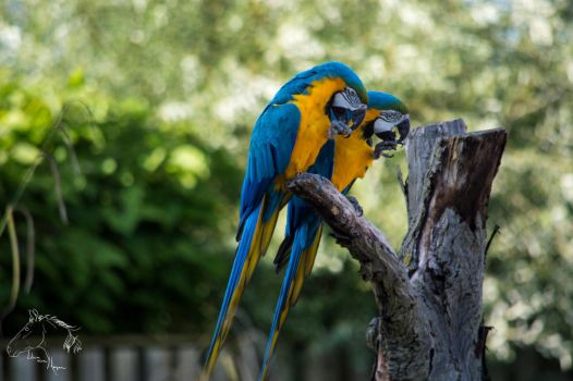 Blue-and-yellow macaws by LilianvH