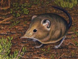 Round-Eared Elephant Shrew by WillemSvdMerwe