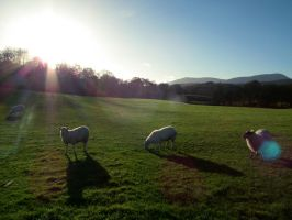 wray sheep by harrietbaxter