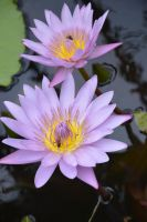 Martinique waterlily for 3DXcentric birthday by A1Z2E3R