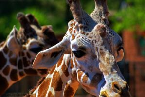 Reticulated  Giraffe by Riphath