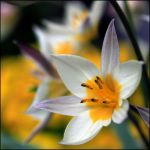 White Yellow Flower by fatclaw