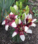 Asiatic Lilies 3 by TheStockWarehouse
