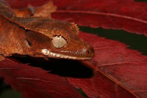 Autumn crested gecko 2 by AngiWallace