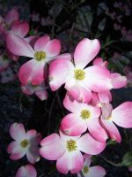 Pink Dogwood by seiyastock