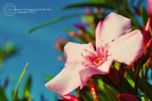 Pink Flower by PrestigeGraphics