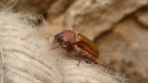 Cockchafer - Hanneton by AUJEANPAS