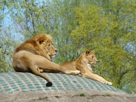 Stock 373: lions by AlzirrSwanheartStock