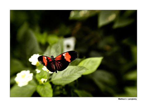 The Butterfly by saugox