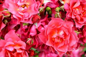 Roses Everywhere by ChicaDelMar