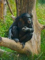 chimp31 by redbeard31