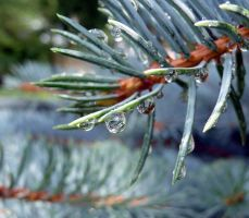 Water Droplet on Pine Needle by Melyssah6