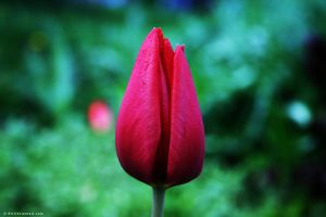 Red Tulip by D-BH