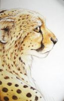Cheetah by bevamme