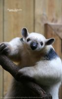 Northern Tamandua by MorganeS-Photographe