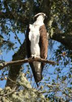 Osprey at Lopez Lake by I-Heart-Photos