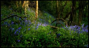 Bluebells by Megglles