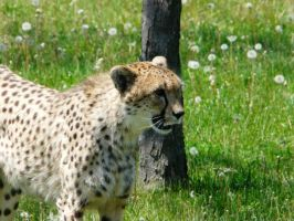 Cheetah 07 by Unseelie-Stock