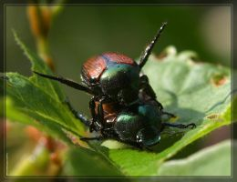 Japanese Beetles 40D0012197 by Cristian-M